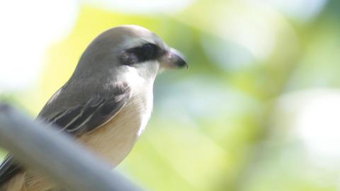 Brown Shrike stock footage