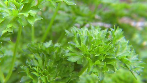 Parsley herb leaves Live Action