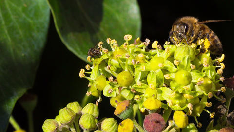 A fly and a honey bee Footage