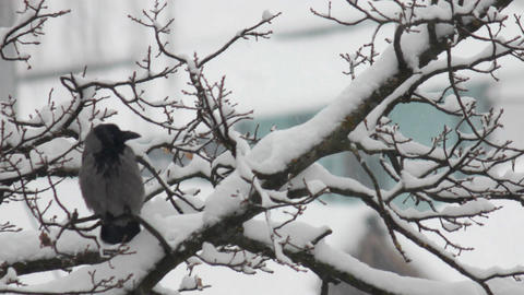 crow in winter park Footage