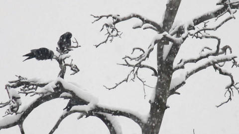 Three Crows In Winter Park stock footage