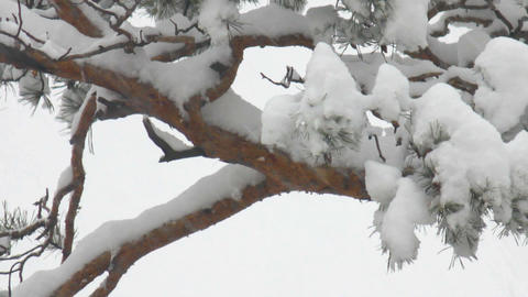 Snow-covered Pine Tree stock footage