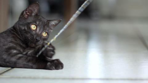 Grey kitten playing Footage