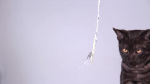 Grey Kitten Playing stock footage
