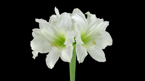 Growing And Rotating Amaryllis Arctic White With A stock footage