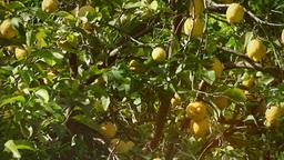 Lemon tree full light leaks Footage