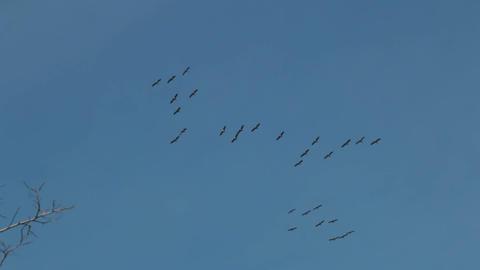ducks flying in the sky Footage