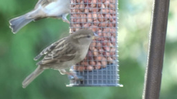 House Sparrow stock footage