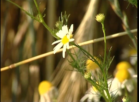 Camomile Stock Video Footage