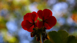 Geranium CloseUp 01 Footage
