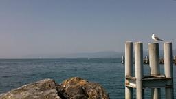 Lake Geneva Lac Leman 19 seagull Stock Video Footage