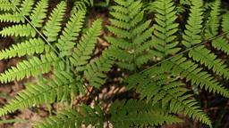 branch of a fern Footage