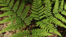 branch of a fern Stock Video Footage