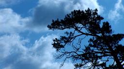 pine2 Footage