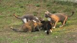 Group Of Cats stock footage