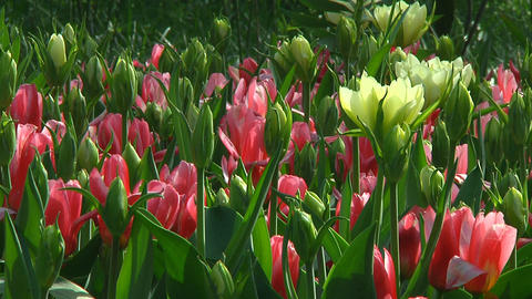 Mixed tulips Stock Video Footage