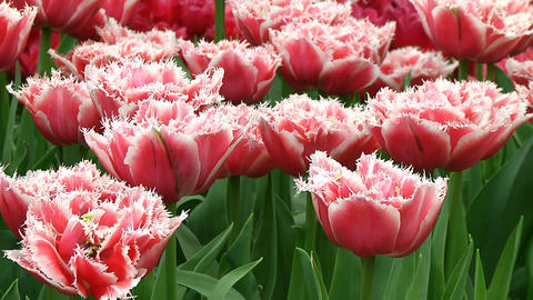 Fringed tulips Stock Video Footage