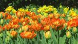 Field Of Orange Tulips stock footage