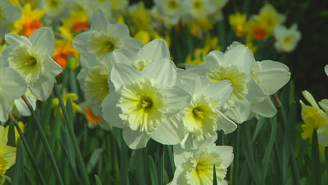 Mixed daffodils Stock Video Footage