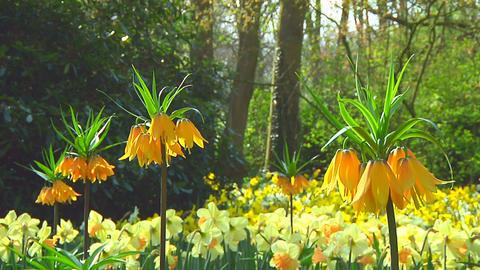 Orange fritillarias Stock Video Footage