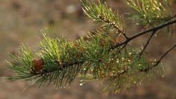 pine branch after rain Footage