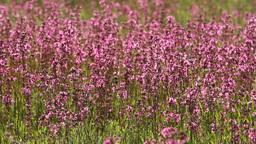 purple wildflowers hd Footage
