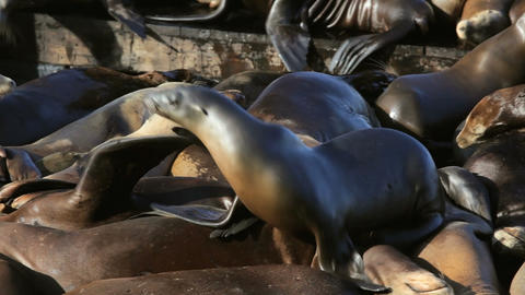 Sea Lion Crowd Surfing Stock Video Footage