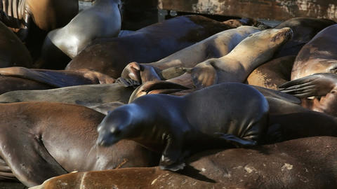 Sea Lion Crowd Surfing Footage