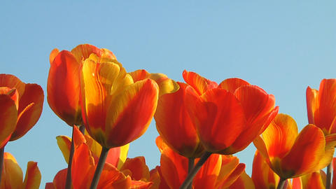 Field of orange tulips Footage