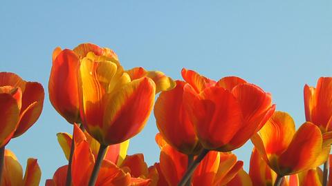 Field of orange tulips Stock Video Footage