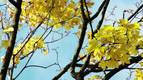 4 K Autumn Sycamore Platanus Tree 2 Footage