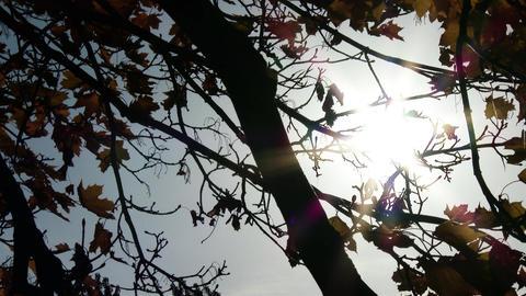 4 K Autumn Sycamore Platanus Tree 5 Footage