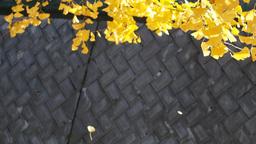 maidenhair tree | 銀杏の落葉 30sec Footage