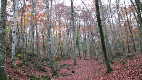 Beech Forest with Falling Leaves in Autumn Footage