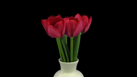 Growing, Opening And Rotating Red Tulips With ALPH stock footage