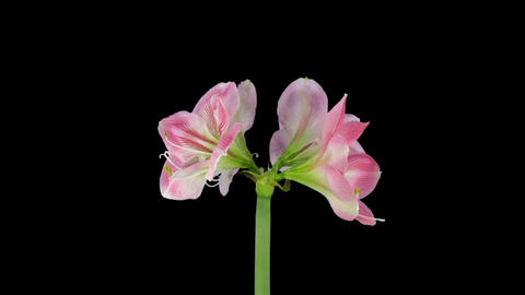 Growing and rotating Candy Floss amaryllis with AL Footage