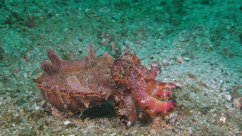 Flamboyant Cuttlefish Is Walking On Sandy Bottom stock footage