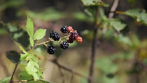 blackberries in the garden Footage
