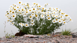 blossoming camomile a bush in polar tundra Footage