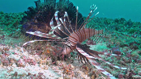 Hunting lionfish near a fire urchin Live Action