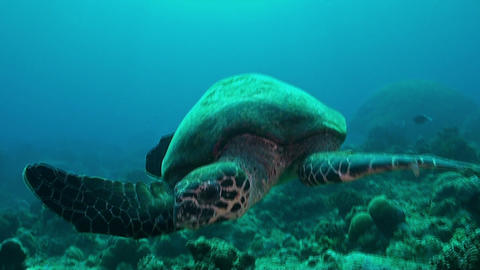 Hawksbill Turtle swimming on a coral reef Footage