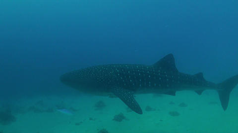 Whale Shark In Shallow Water stock footage