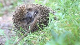 hedgehog curled and sleeps ant awakes him Footage