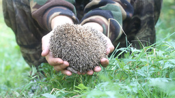 Hedgehog In Hands Trust Leaving Care stock footage