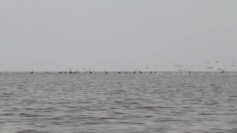 Birds Hunt For Small Fish On Lake stock footage
