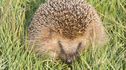 Wild Animal Hedgehog On Grass Close Up stock footage