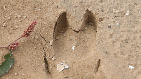 accurate trace of a big boar on sand Live Action