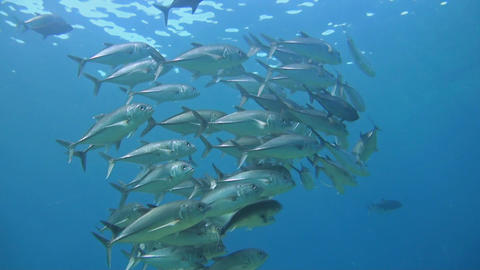 Shoal of Bigeye Trevallies in blue water Footage
