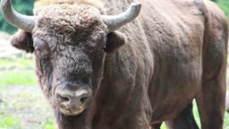 European bison (Bison bonasus) Live Action