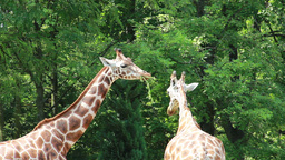 Two giraffes eating Footage